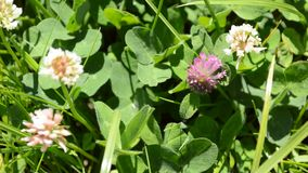 Clover. White and violet clover flowers background stock video