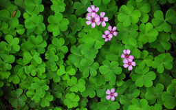 Clover and a wild pink flower Stock Photo