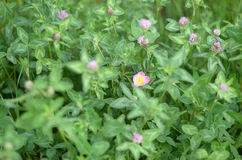 Clover and wild rose Stock Photo