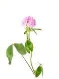 Clover wildlife flower Royalty Free Stock Images