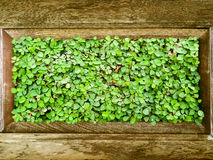 Clover in wood border and green leaves Royalty Free Stock Photos