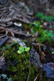 clover in the woods on the background of moss stock photo