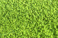 Clover. The young green carpet of clover during the day in Sunny weather Royalty Free Stock Photography