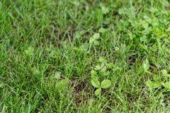 Cloverleaf σε έναν πράσινο χορτοτάπητα στοκ εικόνες