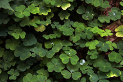 Cloverleaf background. Forest green clovers on a moss background Royalty Free Stock Photos