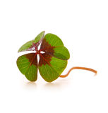 Cloverleaf. Fresh green cloverleaf  isolated on white background Royalty Free Stock Photo