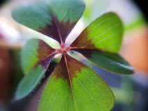 Cloverleaf green red brown zoomed in royalty free stock image