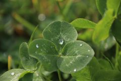 Cloverleaf with water drops. Cloverleaf with tree leaves with several water drops on a meadow Royalty Free Stock Photo
