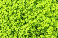 Cloverleaves Background royalty free stock photos