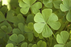 Clovers. Natural green background with shamrocks stock image