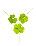 Clovers. Green clovers isolated on white Stock Photo