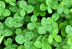 Clovers. A green patch of clovers royalty free stock photography