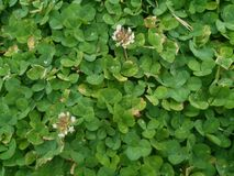 Clovers. With a beautiful view Stock Photography