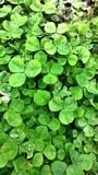 Clovers. Close up of clovers Stock Images