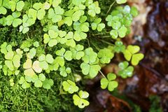 Clovers Stock Photography