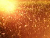 Clovers field. At the sunset Stock Photography