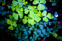 Clovers in the forest. Clovers in a California redwood forest Royalty Free Stock Photography