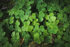 Clovers on the forest floor. Close up image of clovers on the forest floor Stock Images