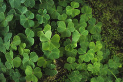 Clovers on the forest floor. Close up image of clovers on the forest floor Stock Photos
