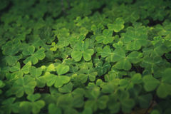 Clovers on the forest floor. Close up image of clovers on the forest floor Royalty Free Stock Images