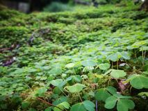 Clovers on Forest Floor. In the Scottish highlands Royalty Free Stock Photography