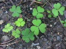 Clovers. Green clovers / weeds growing in pot soil Stock Image