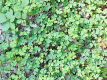 Clovers on the ground Stock Images