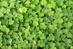 Clovers on the ground Royalty Free Stock Photography
