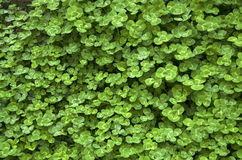 Carpet of clover Royalty Free Stock Photo