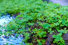 Clovers leaves background Stock Images
