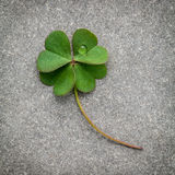 Clovers leaves on Stone background.The symbolic of Four Leaf Clo Stock Photos