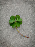 Clovers leaves on Stone Background.The symbolic of Four Leaf Clo Stock Image