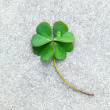 Clovers leaves on Stone .The symbolic of Four Leaf Clover the fi Royalty Free Stock Image