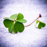 Clovers leaves on Stone .The symbolic of Four Leaf Clover the fi Stock Photography