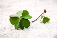 Clovers leaves  on Stone .The symbolic of  Four Leaf Clover the Royalty Free Stock Photos