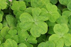 Clovers Macro Stock Images
