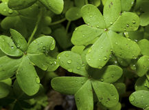 Clovers with raindrops Stock Photos