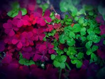 Clovers. Red and green clovers Stock Photo