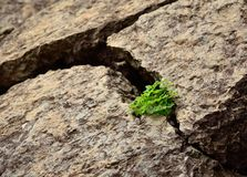 Clovers on rock. Bunch of clovers born amidst the cracks of a large rock Royalty Free Stock Image