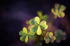 Clovers. Tiny Clovers with Blurred Background, Bokeh Royalty Free Stock Photos