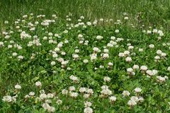 Clovers and white weed flowers. In yard Stock Photo