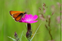 Cloves and a moth. Delicate pink flowers field bright pinks stand out among a field of green grass. Every morning they blossom new buds. They are very attracted Royalty Free Stock Photo