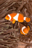 Clow Anemone Fish Stockfoto