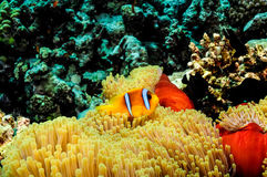 Clow fish III. Clowfish in its anemone.Red Sea Stock Images