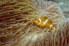 Clow ryba w morzu Zdjęcia Stock
