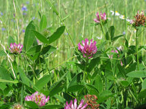 Clower_meadow Stock Images