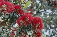 Clowers de Pohutukawa que florescem em uma árvore Imagem de Stock
