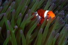 Clowfish em casa Fotografia de Stock Royalty Free