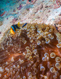 Clown à queue jaune Fish avec l'actinie Photographie stock