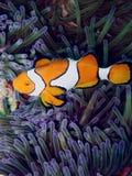 Clown-Anemone-Fische Lizenzfreies Stockbild